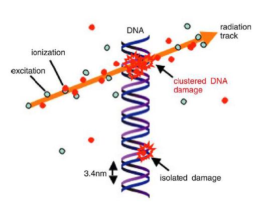 DNA damage image from Francesca Bisello presentation