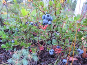 Blueberries in the cemetery